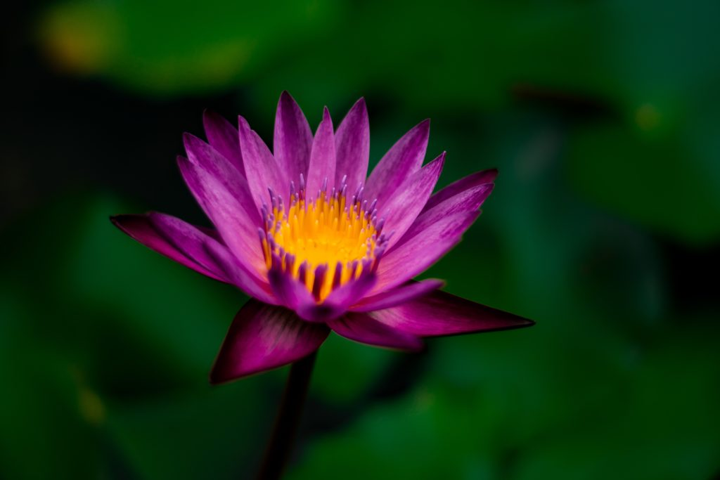 Lotus flower Reiki